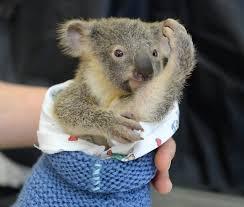 baby koala hugs unconscious mom saving surgery bored