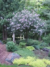 korean lilac archives knecht s nurseries landscaping