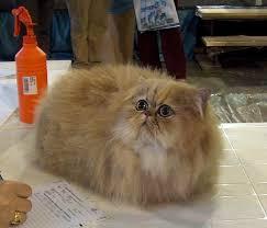 gatti persiani bianchi razze gatti persiano