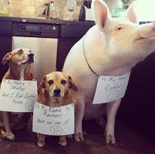 15 pigs who wish they were dogs the barkpost