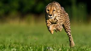 why midsized animals are the fastest on earth science aaas