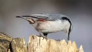 does black capped chickadee feeding behaviour normally involve