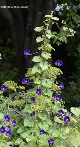 Morning Glory Climbing Plant - morning glory u0026 bees gardenblog2013