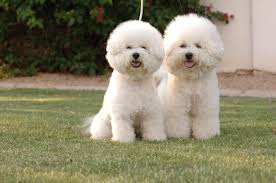 bichon frise dog breeders bichon frise breeders within the united states puppies for