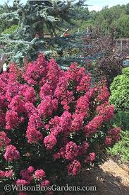buy berry dazzle crape myrtle for sale from wilson