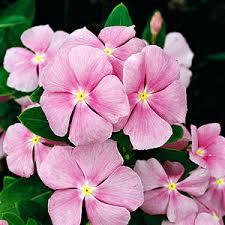 vinca flowers annual vinca