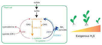 more than just an intermediate hydrogen sulfide signalling in