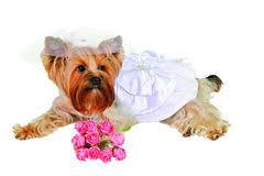 Dog Wedding Dress Dog Wedding Royalty Free Stock Images Image 33754029