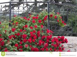 white trellis supporting a red rose vine stock images image