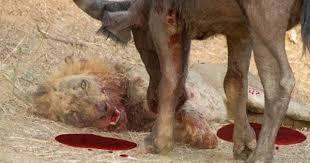 belgian shepherd vs pitbull fight lion vs rhino fight rhino kills the lion https www youtube com