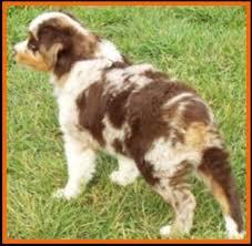 mini australian shepherd 7 weeks callie u0027s litter 1 pup2 red merle harlequin female miniature