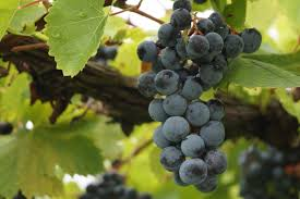 how wine is made from grapes to glass wine folly