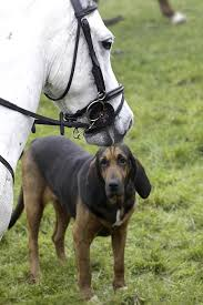 bluetick coonhound and bloodhound mix bloodhound dog breed information pictures characteristics