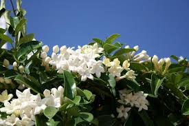native plants of spain things every flower gardener should know about jasmine plants