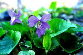 edible blue flowers foraging for the common blue violet hgtv