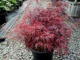 japanese maple farm and nursery