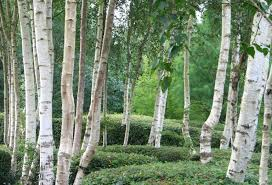 Wall Mural White Birch Trees 65 Best Trees And Bushes Images On Pinterest Shrubs Oak Tree