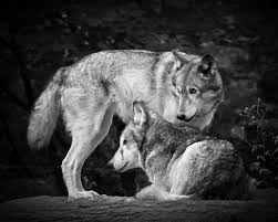 black and white wolves photograph by steve mckinzie