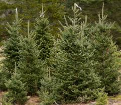 southcoast residents love their christmas trees news