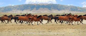 mustang adoption home wildies gentled mustangs and burros for adoption