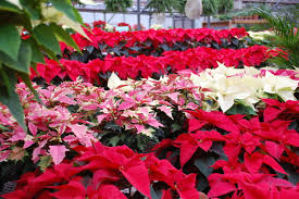 fun facts about poinsettias home grounds blog