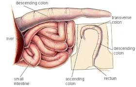 Anatomy Of Stomach And Intestines Digestive System Of The Cat