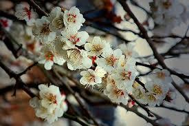 plum trees garden guides