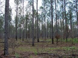 Mississippi Forest images Pine forests provide wildlife habitat mississippi state jpg