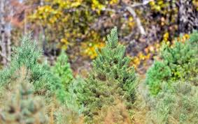 cut your own christmas tree farms in the d c area the