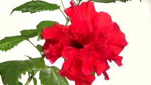 Dark Red Flower - timelapse of dark red peony flower blooming on white background
