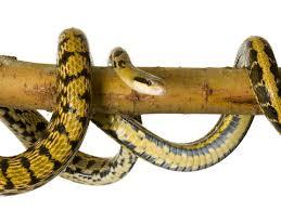 Blind Snake For Sale Snakes Sale Image Mag