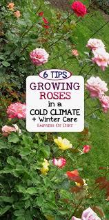 best 25 rose bush ideas on pinterest flowering bushes prune