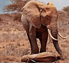 The Blind Men And The Elephant Analysis Elephants Really Do Grieve Like Us They Shed Tears And Even Try