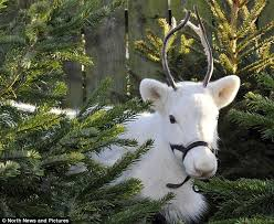 snow white reindeer puts whitby garden centre visitors in the