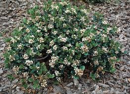 Shrub Small White Flowers - shrubs dooley landscape designs albuquerque