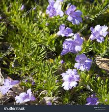 hardy australian native plants delicate decorative hemiandra pungens snakebush west stock photo