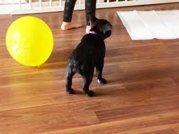 6 week pregnant boxer dog dog pregnancy a week by week pregnancy calendar pets4homes
