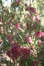 australian native screening plants 2249 best australian native plants images on pinterest native