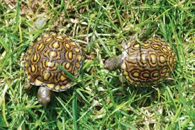 tortoise trust web care and of central american wood