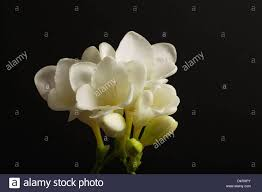 freesias are one of the most popular cut flowers in the world