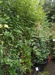 photinia u0027red robin u0027 5 6ft on trellis bunkers hill plant nursery