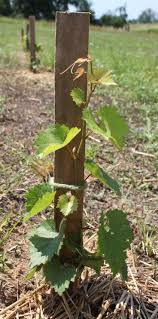 140 best the vineyard images on pinterest growing grapes wine