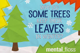 why do some trees keep their leaves in winter mental floss