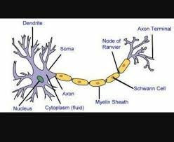 Parts Of A Tissue Is A Nerve A Tissue Quora