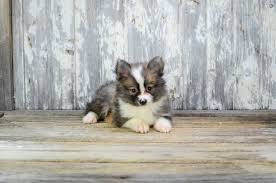 south dakota australian shepherd rescue pommer pomskies review u2013 south dakota pomsky breeder pomsky