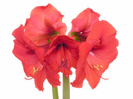 pet poison helpline amaryllis toxicity to dogs and cats