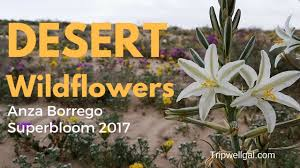desert wildflower superbloom a san diego day trip youtube