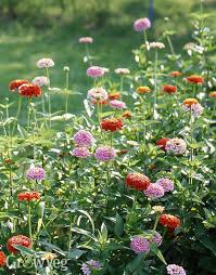 why zinnias are perfect companions in the vegetable garden