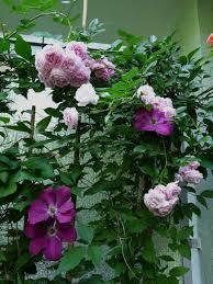aliexpress com buy rosa climbing plants polyantha rose