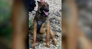 belgian sheepdog rescue colorado colorado k 9 opens gate with paw to rescue his human partner